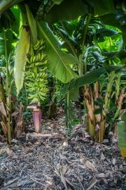 Banános